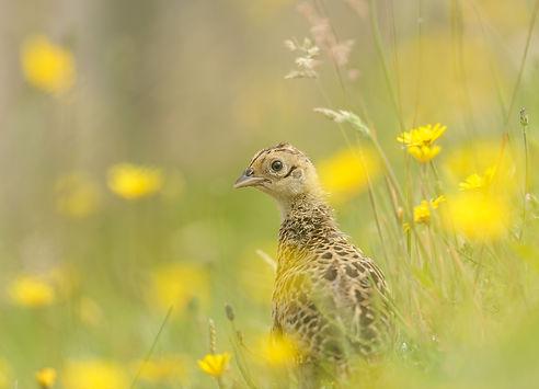 Vogelfotografie Texel. Fazant.