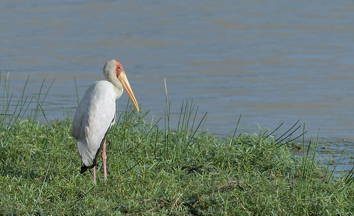 Kafue NP, Yellow-billed Stork.