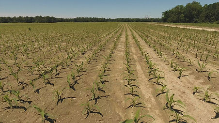 Drone over a corn field