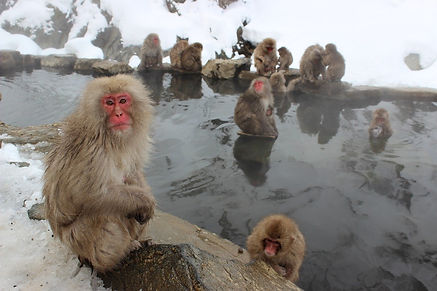 snow-monkeys-1394883_1280.jpg