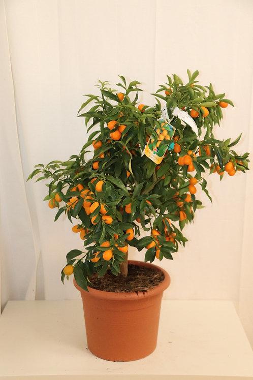 Kumquat Bäumchen, Höhe 90cm