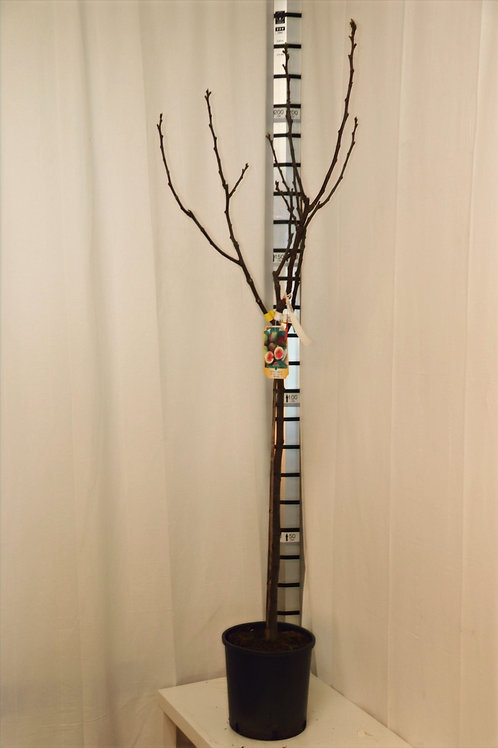 Ficus Carica - rote Feige, Höhe 180cm