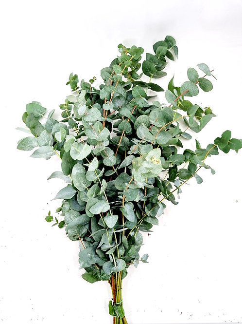 Eucalyptus cinerea lang, gebündelt