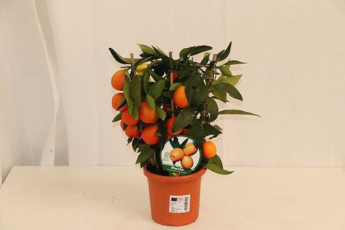 Citrus Stämmchen H-35cm