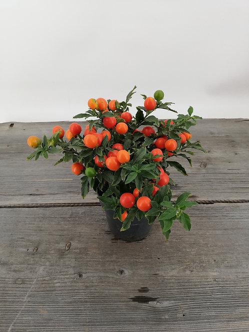 Korallenstrauch-Solanum pseudocapsicum im 12er Topf