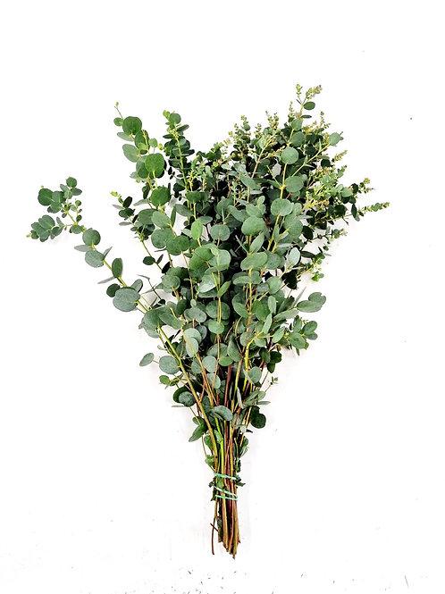 Eucalyptus Gunni, gebündelt
