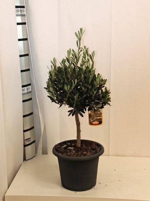Olive Ministamm, Höhe 70cm