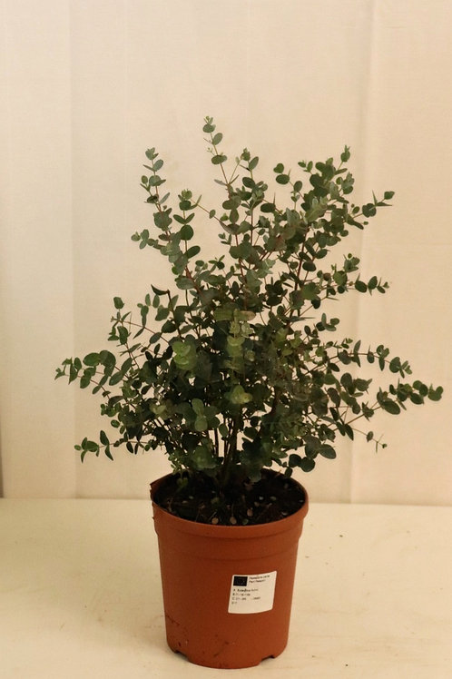 Eucalyptus Busch, Topf 17cm