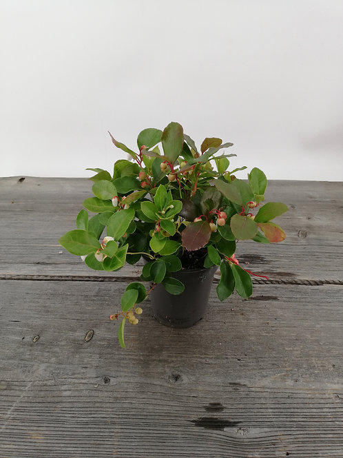 Scheinbeere-Gaultheria procumbens im 12er Topf