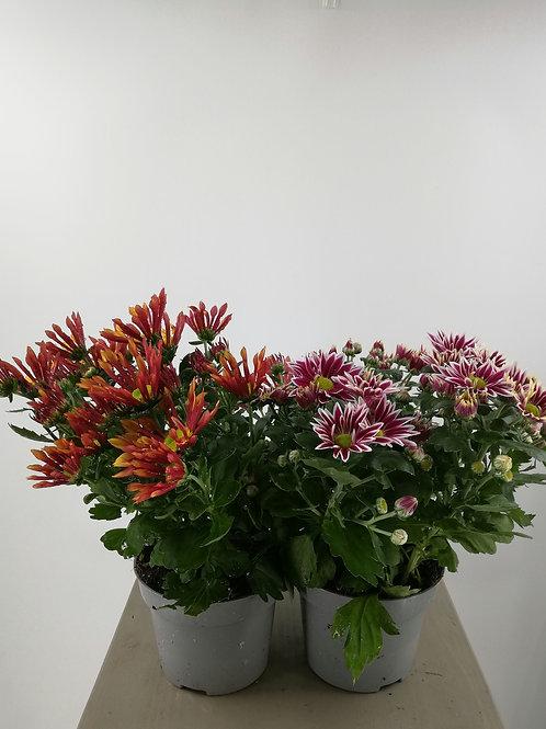 Farbenfrohe Chrysantheme im 12er Topf