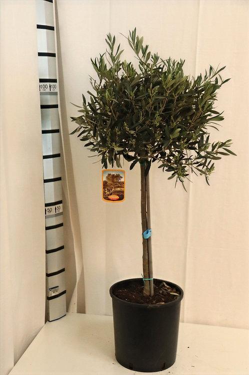 Olive Stamm, Höhe 100cm