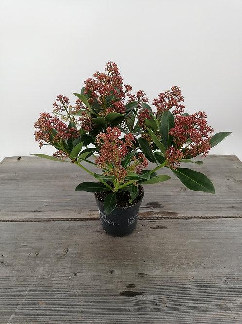Skimmia japonica Rubella im 12er Topf