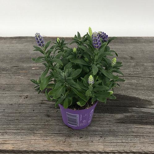 Lavendel im 6cm Topf