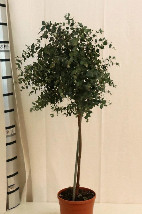 Eucalyptus Hochstamm, Höhe 100cm