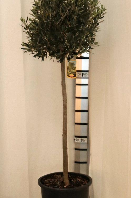 Olive Stamm, Höhe 180cm