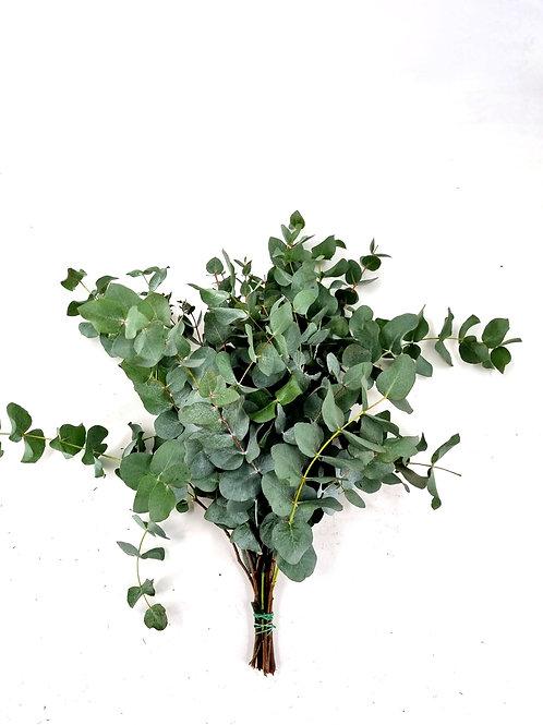 Eucalyptus cinerea kurz, gebündelt