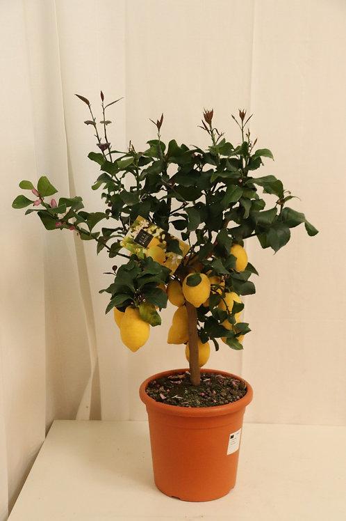 Citrus Stämmchen H90cm
