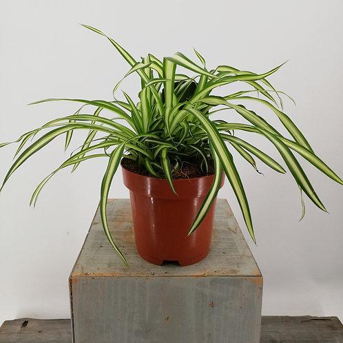Chlorophytum-Grünlilie im 12er Topf