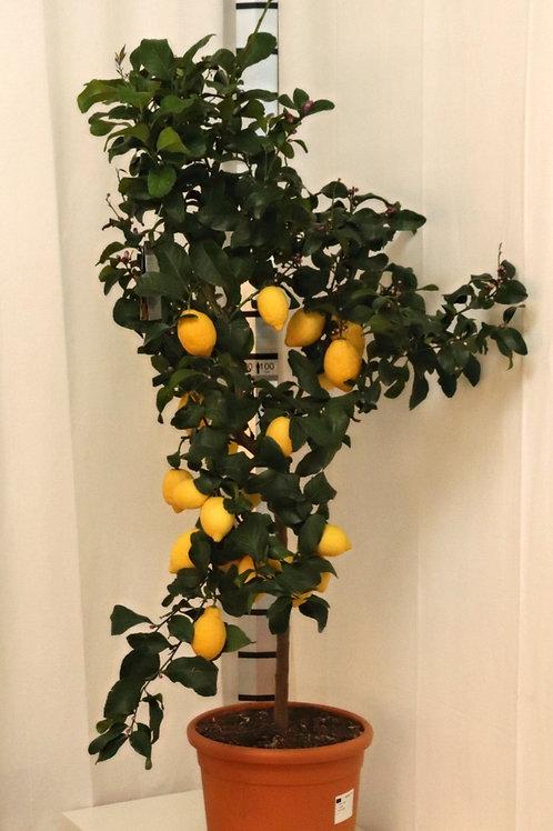 Citrus Limun, Höhe 150cm