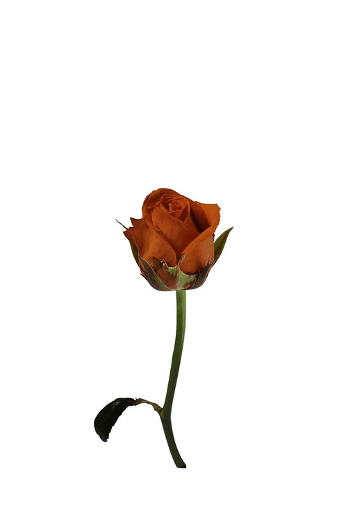 Marrakiss - Rosenbündel aus Grazer Produktion (10 Stück)