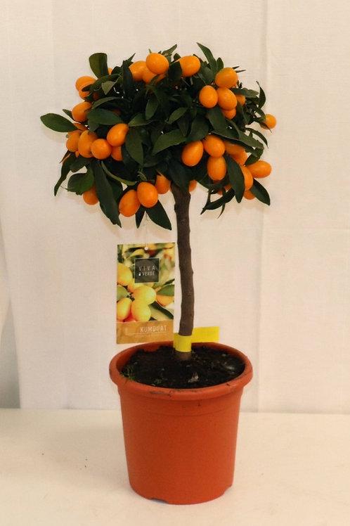 Kumquat Stämmchen H60cm