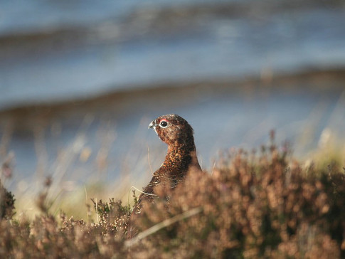 Interview with Revive, the coalition for grouse moor reform