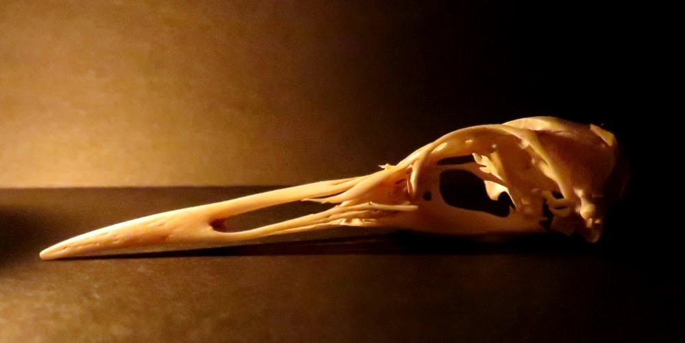 bird skull by candlelight