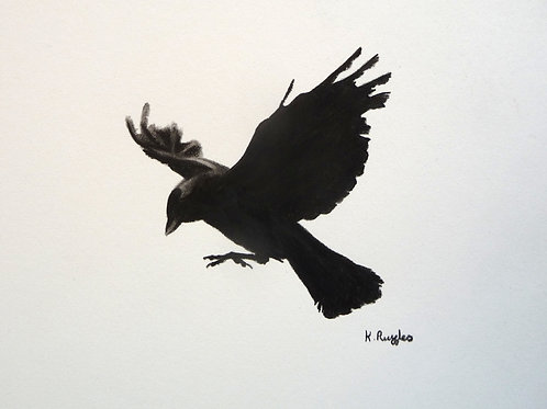 jackdaw flying black and white drawing wings outstretched and claws showing