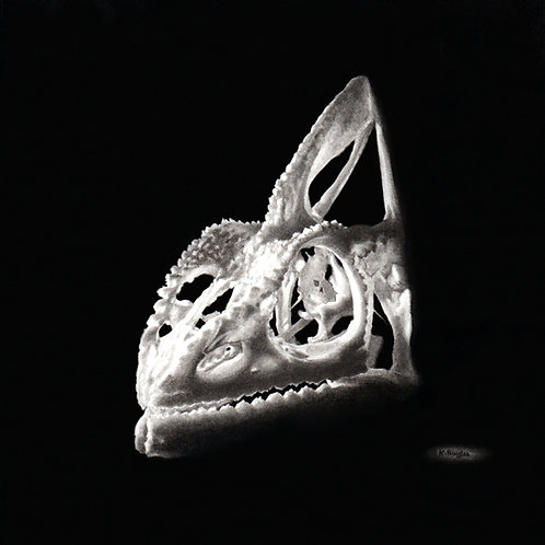 Black and white drawing of a chameleon lizard skull in charcoal pencil and Wolffs carbon