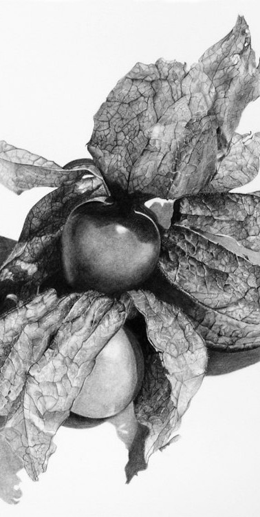 Physalis charcoal and carbon drawing.