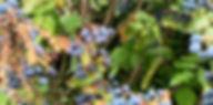 Vivacity berries.jpg