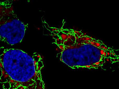 Article 2 | La mitochondrie : au cœur de la réplication des virus Zika et de la dengue