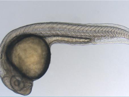 Article 14 | Le poisson-zèbre : héros méconnu des maladies génétiques