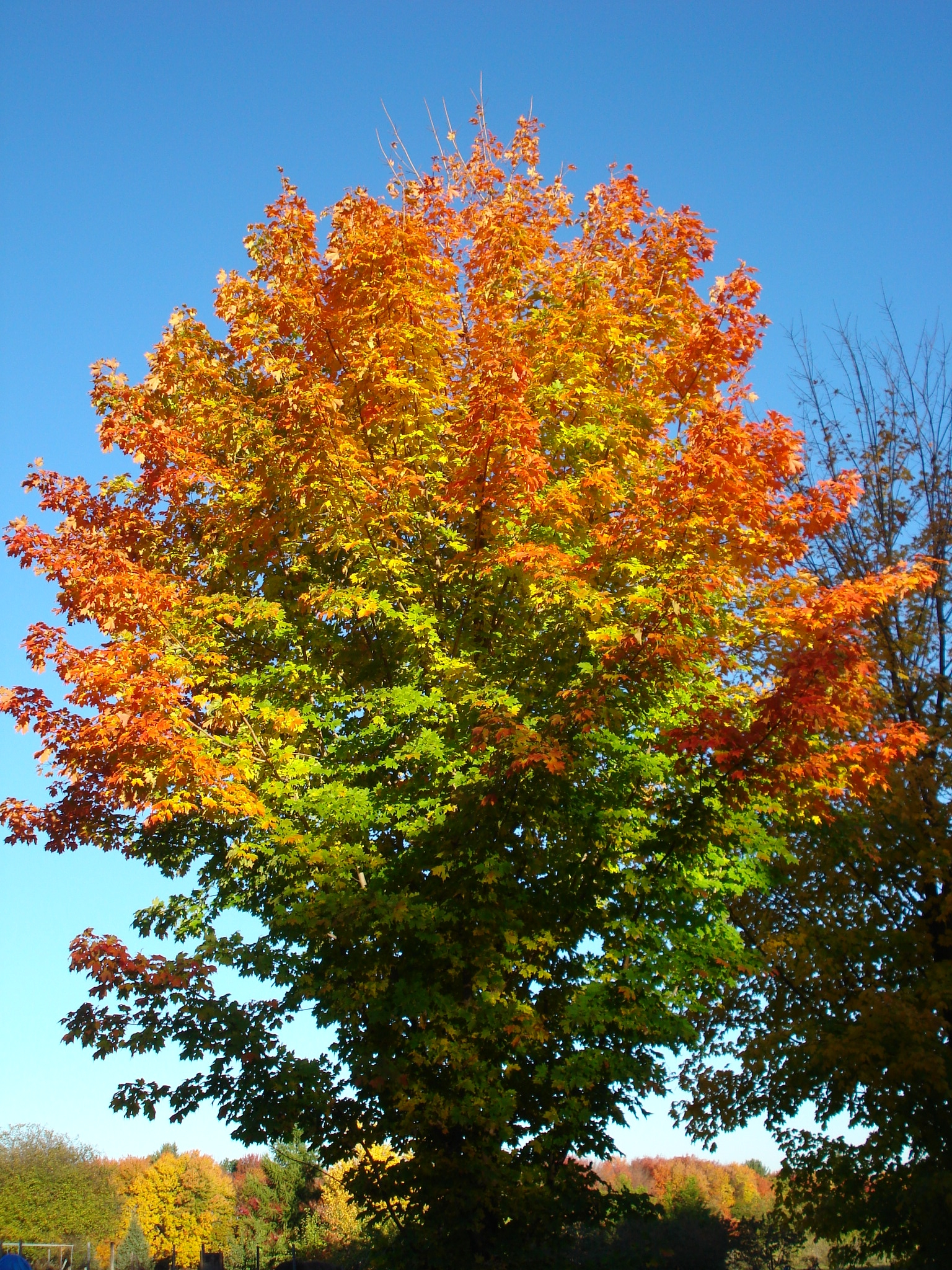 Maple trees at Small Ones Farm