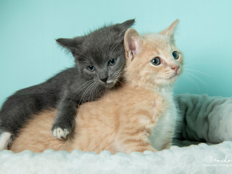 June is National Adopt a Shelter Cat Month!