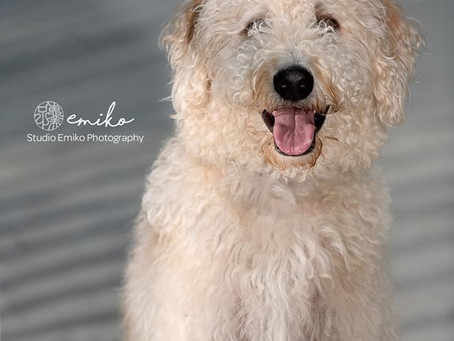 Gerry is a Goldendoodle!