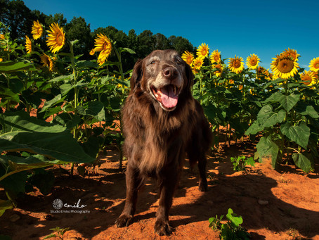 Photo Session at Sunflower Field