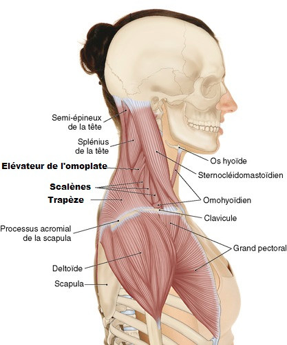 muscle trapèze douleur epaule