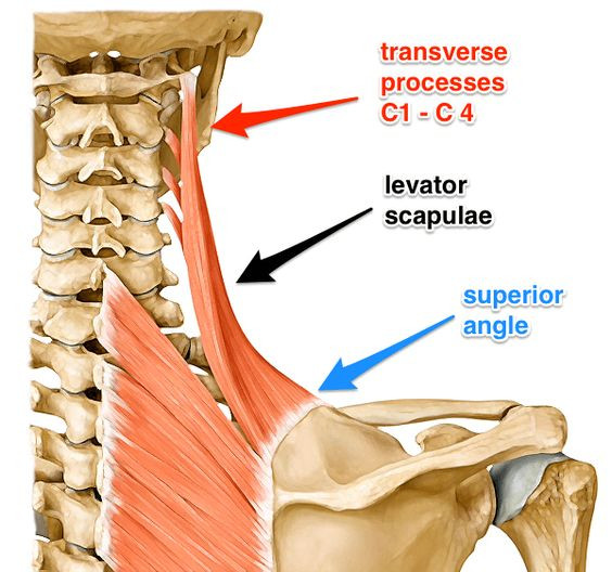 douleur musculaire épaule