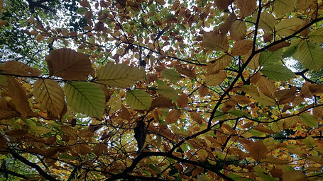 beech leaves on branch.jpeg