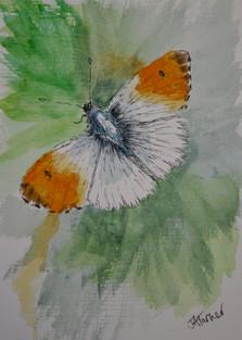 JulieATurner_Orangetip_Inkandwatercolour