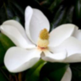 magnolia blossom.jpg