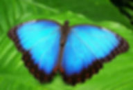 Blue-Morpho-Butterfly-Open-Wings.jpg