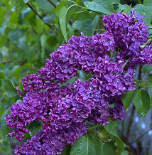 how-to-grow-lilacs-FlowerPatchFarmhouse.
