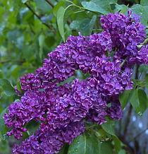 1 lilac