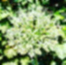 Nature. 🌱🌱🌱_._._._#allium #white #may