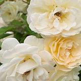 rosenbusk_tætpå.jpg