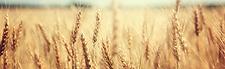 WheatStrip.png