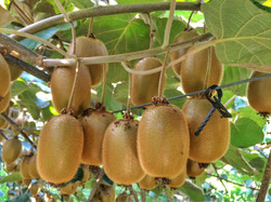 ripe fruits of kiwi plant organic cultivation in france