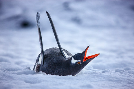 Secuencia pinguino_G5O0045.jpg